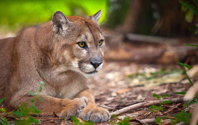 Endangered species: Florida Panther