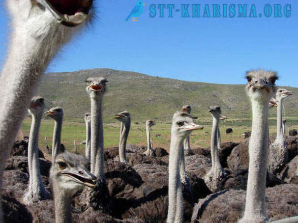 Interesting facts about ostriches
