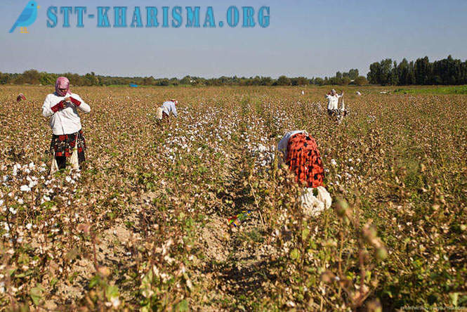 How to pick cotton